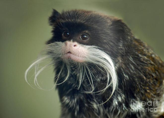 mustached-monkey-emperor-tamarin-ii-jim-fitzpatrick